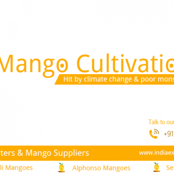 mango cultivation might be hit for mango exporters in tamilnadu by climate change